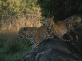 Pair of Leopards Resting in the Shade on a Large Rock Photographic Print by Kim Wolhuter