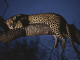 Leopard Rests in a Treetop Perch Photographic Print by Kim Wolhuter