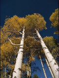 Skyward View of Aspen Trees with Autumn Foliage Photographic Print by David Edwards
