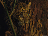 Asiatic Leopard Cub Orphaned When Mother Killed For Body Parts Photographic Print by Steve Winter