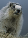 Hoary Marmot, Denali National Park, Alaska Photographic Print by Roy Toft