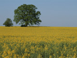 Pair of Trees Stand Among a Field of Yellow Flowers Photographic Print by Norbert Rosing
