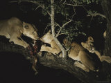 Group of Female Lions Eat in a Treetop Perch at Night Photographic Print by Kim Wolhuter
