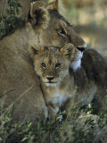 Lioness and Cub Photographic Print by Mark Ross