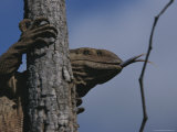 Monitor Lizard Sensing with a Forked Tongue, Clings to a Tree Trunk Photographic Print by Kim Wolhuter