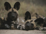 Pair of Young Cape Hunting Dogs Rest Together Photographic Print by Kim Wolhuter