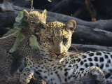 Female Leopard, Panthera Pardus, Lets a Cub Chew on Her Ear Photographic Print by Beverly Joubert