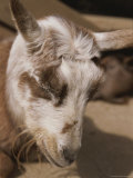 Sleeping Goat Photographic Print by Joy Tessman