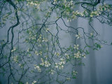 Dogwood Blossoms in a Foggy Forest Fotografisk tryk af Raymond Gehman