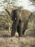 Male Elephant at Lewa Downs Photographic Print by Mark Ross