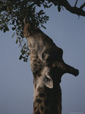 Reticulated Giraffe Eats Leaves From a High Tree Branch Photographic Print by Kim Wolhuter
