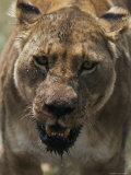 Close View of Lioness During Feeding Photographic Print by Mark Ross