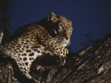 Leopard Rests on a High Tree Limb Photographic Print by Kim Wolhuter