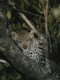 Juvenile Leopard Rests in a Treetop Perch Photographic Print by Kim Wolhuter