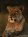 Lion Strikes a Restful Pose in Afternoon Sun Photographic Print by Kim Wolhuter