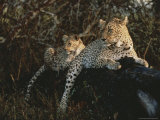 Pair of Leopards Rest on a Fallen Log Photographic Print by Kim Wolhuter