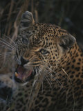 Leopard Snarls at the Camera Photographic Print by Kim Wolhuter