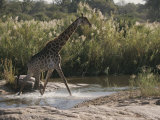 Reticulated Giraffe Crosses a Body of Water Photographic Print by Kim Wolhuter