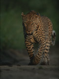 Leopard Strolls Down a Dirt Path Photographic Print by Kim Wolhuter