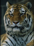 Portrait of Khuntami, a Male Siberian Tiger Photographic Print by Joel Sartore