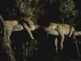Pair of Leopards Rest on a Tree Limb Photographic Print by Kim Wolhuter