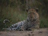 Leopard, Panthera Pardus, Resting on a Patch of Cool Soil Photographic Print by Kim Wolhuter