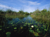 Water Lilies Bloom in a Slough Through a Wetland Reserve Photographic Print by Steve Winter