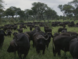 Herd of Cape Buffalo on Grazing Lands Photographic Print by Kim Wolhuter
