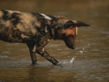 Cape Hunting Dog Paws Water and Sends Up a Splash Photographic Print by Kim Wolhuter