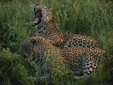 Pair of Leopards Rest and Yawn in Green Grass Photographic Print by Kim Wolhuter