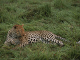 Leopard, Panthera Pardus, Resting in Soft Green Grass Photographic Print by Kim Wolhuter