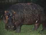 Battle-Scarred Hippopotamus Glares at the Camera Photographic Print by Kim Wolhuter