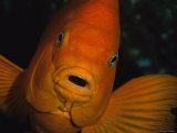 Portrait of a Garibaldi Fish Photographic Print by Tim Laman