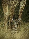 Newborn Giraffe Sitting in Front of Mother's Legs Photographic Print by Mark Ross