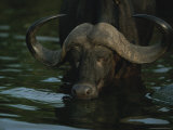 Close View of a Cape Buffalo Wading in Water Photographic Print by Kim Wolhuter