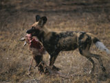 Cape Hunting Dog Carries a Carcass Photographic Print by Kim Wolhuter