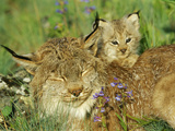 Mother Canadian Lynx Rests as Her Young Looks Around Fotografisk tryk af Norbert Rosing
