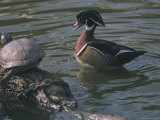 Male Wood Duck Quacks at a Turtle Sunning Itself on a Log Photographic Print by Joy Tessman