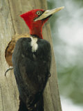 Robust Woodpecker, Iguazu National Park Photographic Print by Roy Toft