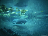 Pair of Manatees Swim Beneath the Kelp Photographic Print by Norbert Rosing
