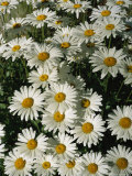 Close View of Daisies Photographic Print by Taylor S. Kennedy