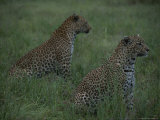 Pair of Leopards Sit Alert in a Grassy Field Photographic Print by Kim Wolhuter