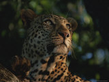 Close View of the Face of a Leopard in a Tree Top Photographic Print by Kim Wolhuter