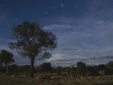 Group of Impalas Graze on an African Plain Photographic Print by Kim Wolhuter