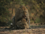 Pair of Leopards Mating Photographic Print by Kim Wolhuter