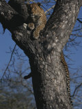 Leopard Rests in the Fork of a Tree Trunk Photographic Print by Kim Wolhuter
