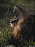 Male Lion Yawns Deeply Photographic Print by Kim Wolhuter