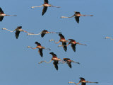 Caribbean Flamingos Fly Above Their Swampy Rookery Photographic Print by Steve Winter