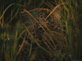 Leopard Hides in Tall Grasses Photographic Print by Kim Wolhuter