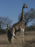 Juvenile Reticulated Giraffe Stands Near Its Mother Photographic Print by Kim Wolhuter